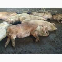 Продам свині м#039;ясний породи