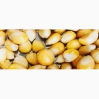 Купляєм кукурудзу некондицію протравлену, некласову, вологу, биту та відходи кукурудзи