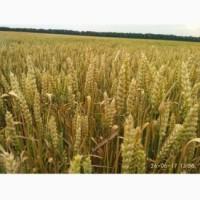 Продам насіння озимої пшениці РОЛАНД (Probstdorfer Saatzucht, Австрія)