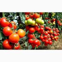 Тепличные помидоры томат оптом