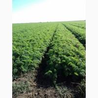 Продам Морковь Абако без болезней на закладку и рынок