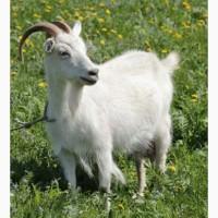 Продам коз, козлят