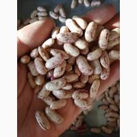 Fresh Sugar Beans / Sugar beans for sale