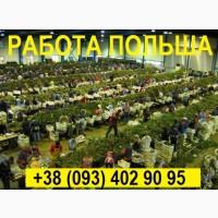 РАБОТА в Польше || Сортировка Cаженцев Клубники || Заезд от 15.09.2020
