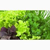 Зелень и овощи оптом от производителя без посредников укроп петрушка базилик руккола редис