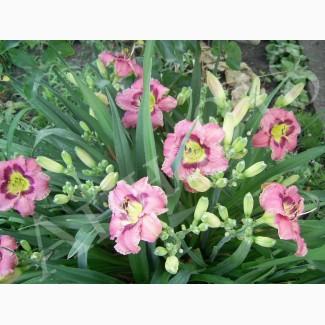 Лилейник розово-лавандовый Олвейс Афтенун (Always afternoon)