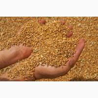 Куплю фуражную пшеницу и рапс