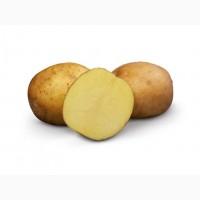 Продам очень лежкий шершавый картофель, сорт ВР 808