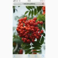 Купим по Украине красную рябину 14 гр
