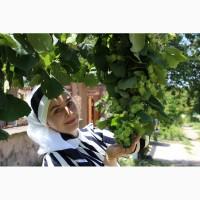 Саженцы фундука Трапезунд в Украине