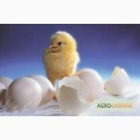 Продам яйцо инкубационное куриное Адлер серебристый