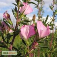 Стальник полевой (трава) 50 грамм