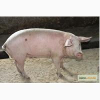 Продам товарных свиней живым весом 115-140 кг
