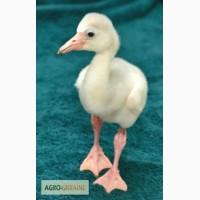 Домашній птах Фламінго, білі та рожеві фламінго