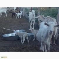 Стадо дойных коз