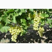 2-х и 3-х летние саженцы винограда