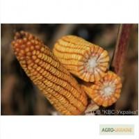 Посевной материал кукуруза КВС-381