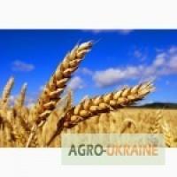 Продам канадскую пшеницу сорт Тесла