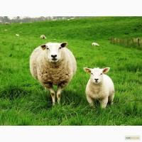 Куплю овец баранов и ягнят