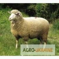 Куплю овцы, бараны, ярки, ягнята, разных пород