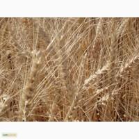 Озимая пшеница Землячка Одесская элита и 1 репр