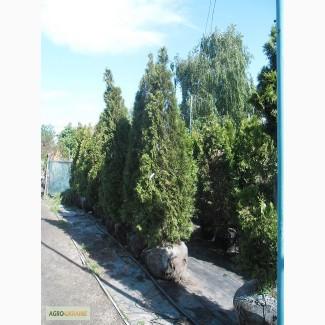 Продам саженцы туи Смарагд и другие хвойные растения, Киев