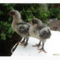 Продам курчат австралорп голубий і чорний