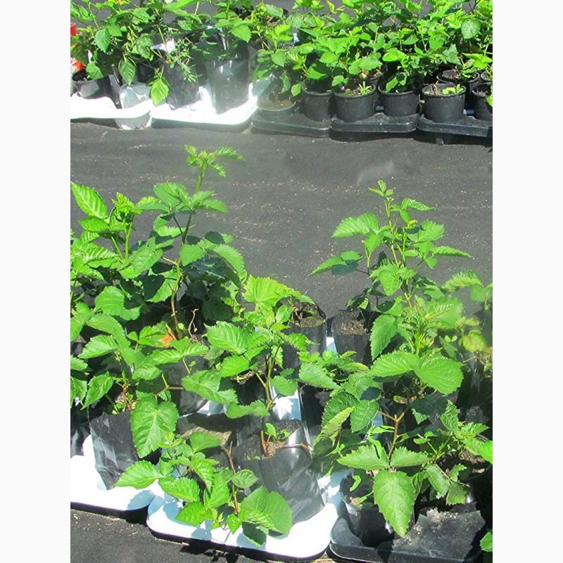 Выращивание бесшиповой ежевики и уход за ней