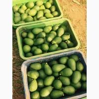 Продам авокадо