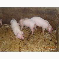 Куплю поросят до 25 кг. 50 - 250 голов по разумной цене мясной породы.с любого региона