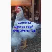 Подрощенные цыплята Мастер грей
