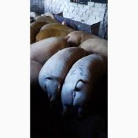 Терміново продам свиней живою вагою
