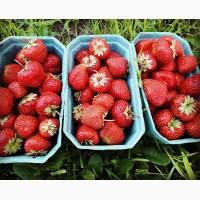 Продам Клубнику цена 13 грн. 10 тонн альбион