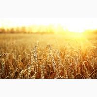 Купим проблемную пшеницу 3-6 класса