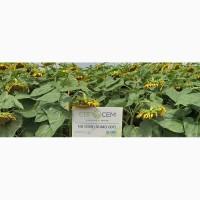 Пропонуємо купити насіння соняшника НС Сумо 007 (НС Н 6059)