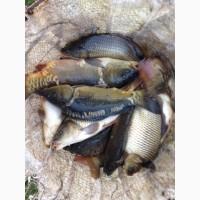 Живая рыба продам карпа