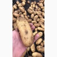Картофель оптом белых и красный сортов от производителя ФХ БОРОДЮК
