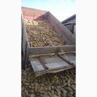 Продам товарну та насіннєву картоплю сортів гранада, конект, ред леді, лаперла, тирас
