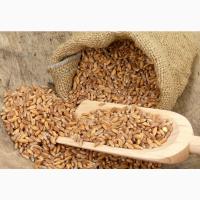 Закупаем твердую пшеницу дурум