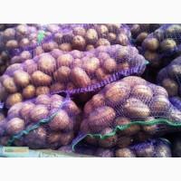 Продам Картофель Гранада и Беллароза цена 3.50 грн. 60 тонн
