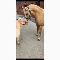 Уэльские пони жеребец и кобылы лошади кони осел кобыла конь