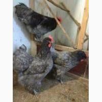 Куры Джерсийский гигант яйцо цыплята