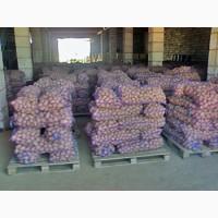 Продам картофель Ривьера семенная