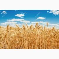 Закупаем пшеницу.Самовывоз