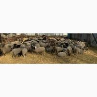 Продам баранов Романовской породы от производителя. Только от 100 голов