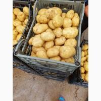Продам молодой картофель с поля