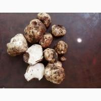 Продам гриби Білий Трюфель