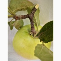 Яблочные пищевые волокна в порошке яблочный порошок