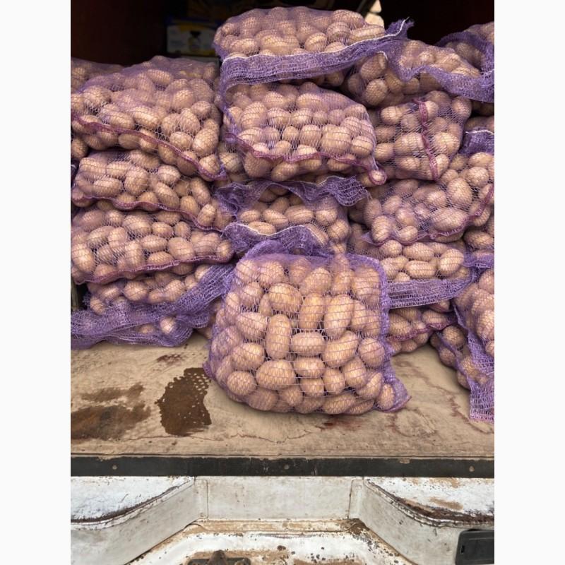 Сорта раннего картофеля описание фото