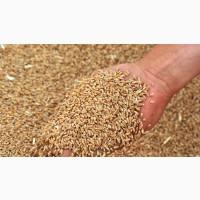Куплю Пшеницу от 100т по Магдалиновскому району